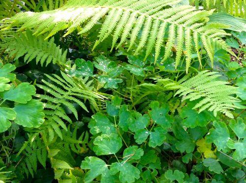 fern green perennial