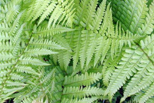 fern leaflets green