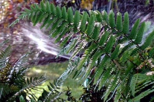 fern plant allotment