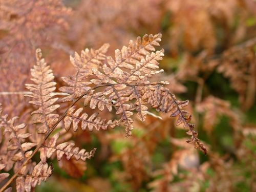 fern withered autumn