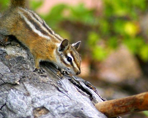 fern lake trail chipmunk  rodent  furry
