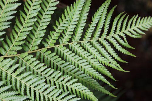 papartis & nbsp, lapas, paparčio lapai, medis & nbsp, papartis, treefern, žalios spalvos & nbsp, lapai, paparčio lapas