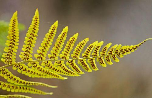 fern leaf fern green