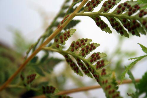 Fern Spores
