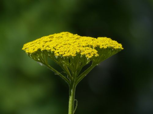 fernleaf flower blossom