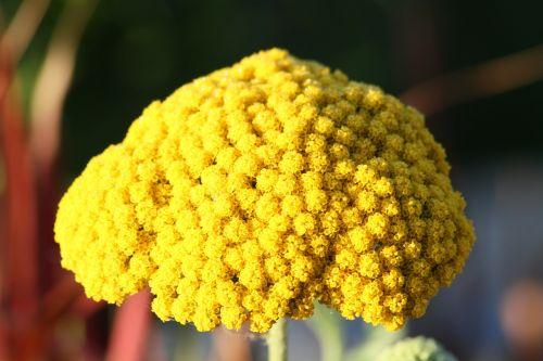 fernleaf,gėlė,geltona,žiedas,žydėti,geltona raugu,Jarrow,aukso raundas,citrina,geltona augalas,geltona gėlė,krūmas,žiedynas,Uždaryti,augalas,flora