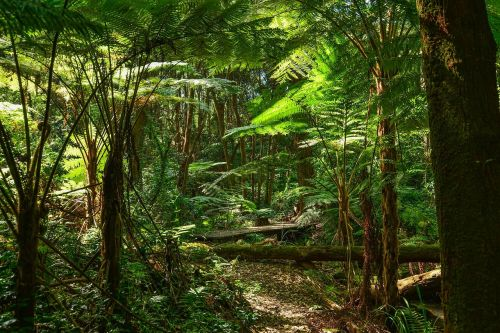ferns tree ferns australia