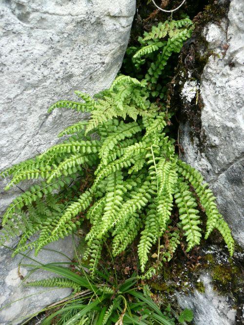 ferns nature stones