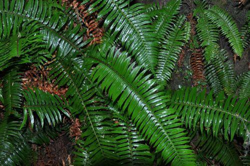 ferns rainforest flora