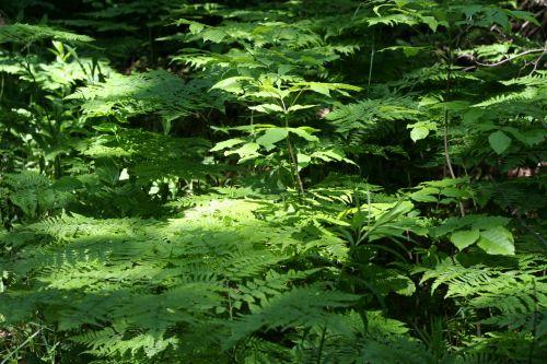 Ferns In Sunbeam