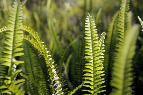 Ferns In The Garden
