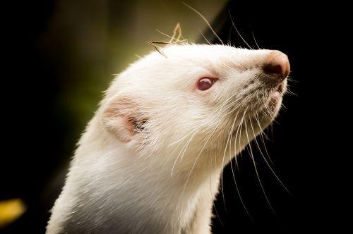 ferret animals animal welfare