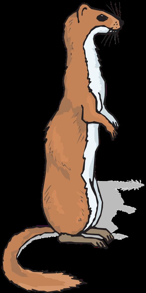 ferret animal mammal