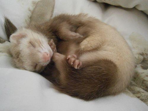 ferret relaxation tenderness