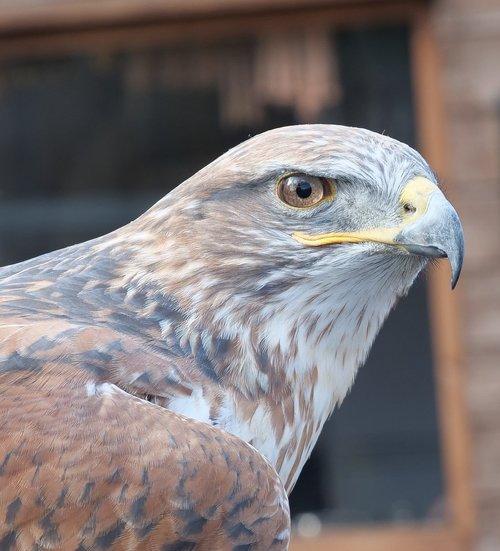 ferruginous hawk  raptor  eagle