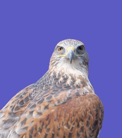 ferruginous hawk  raptor  bird