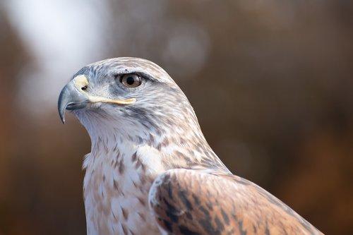ferruginous hawk  falconry  hawk