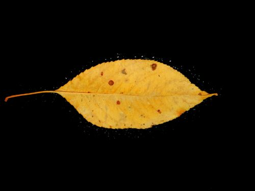 Gold Leaf (1)