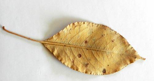 Gold Leaf (2)