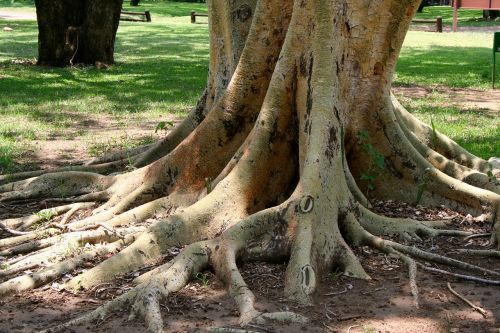 fever tree roots