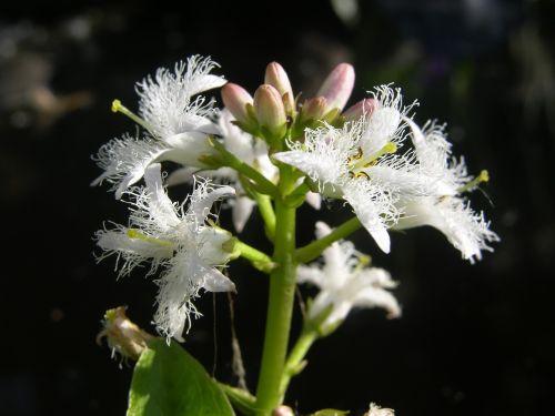 fever dress menyanthies trifoliata pond plant