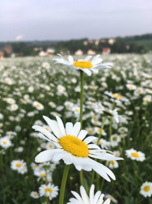 feverfew  white  yellow