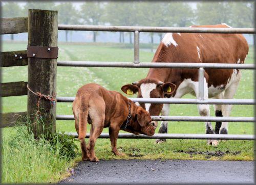Cow Gossip