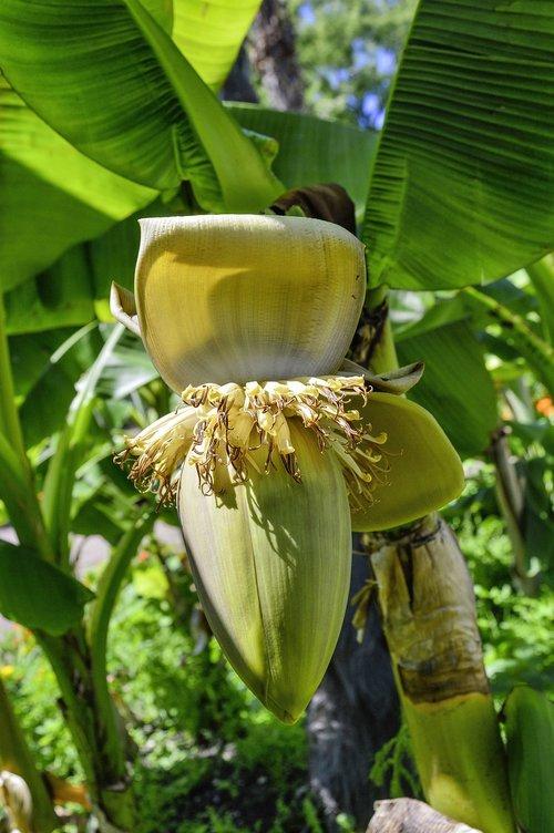 fiber banana  banana  blossom