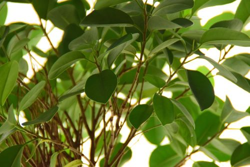 ficus plant leaves