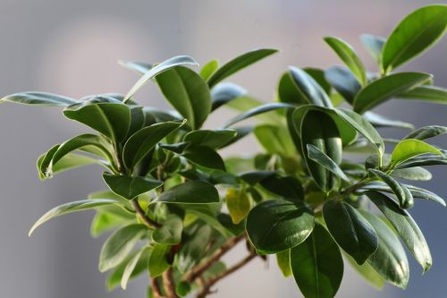 ficus leaves plant
