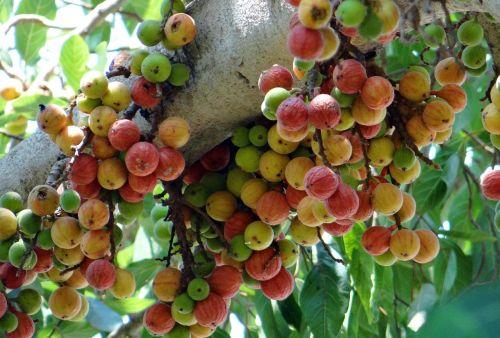 ficus glomerata fig gular