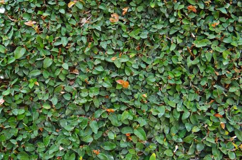 ficus pumila creeping fig climbing fig