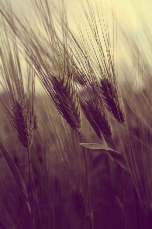 field farming wheat