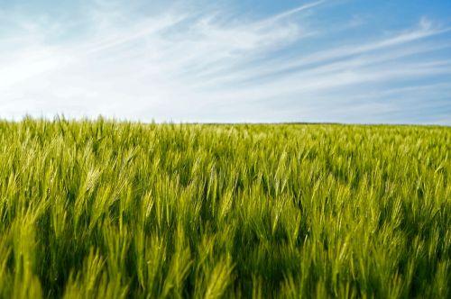 field wheat wheat fields
