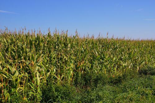 field cornfield agriculture