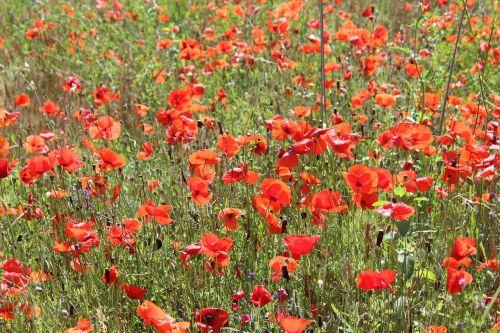 field poppy flowers