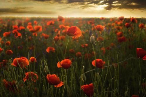 laukas,aguonos,saulėlydis,gėlės,raudona,gėlė,gamta,romantiškas,vasara,laukas aguonos,kraštovaizdis,kaimas,šiluma,aguonos gėlė,Lenkija,aguona