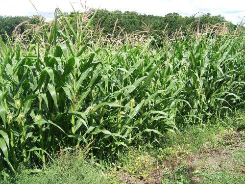 field spikes corn