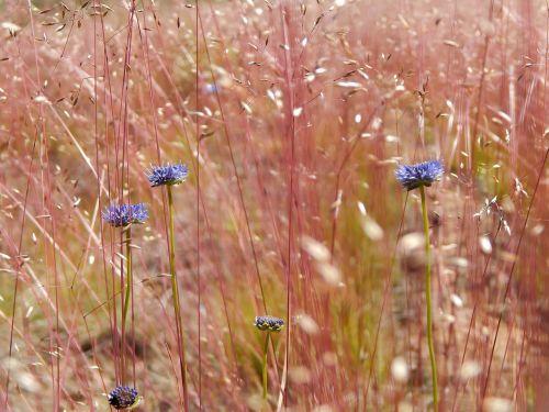 field flowers red flowers