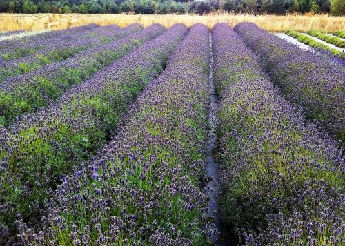 field lavender rows