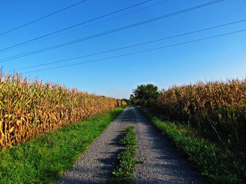 field corn a field of corn