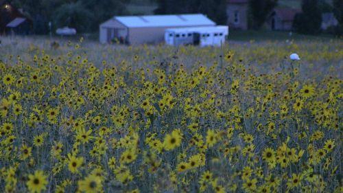 field sunflower nature