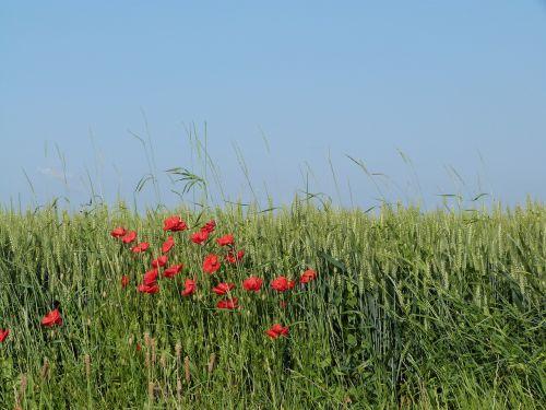 field wheat epi