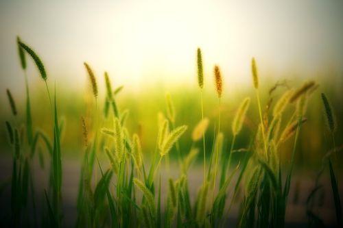 field summer cereals