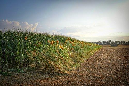 field  sunflower  arable