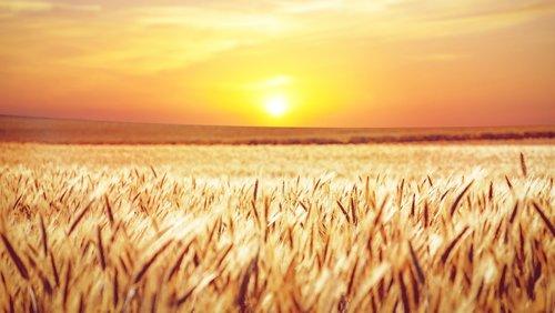 field  sunset  cornfield