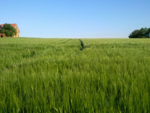 field cereals nature