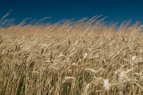 field wheat the sky