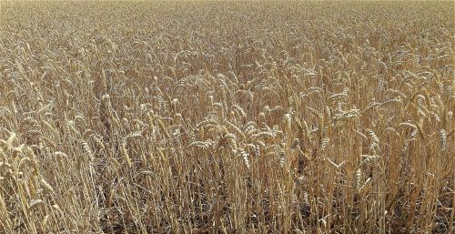 field cereals agriculture
