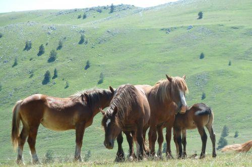 field emperor horses gran sasso